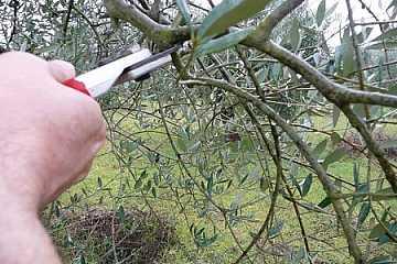foto principale articolo potatura olivo