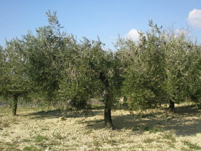 foto albero dell'olivo