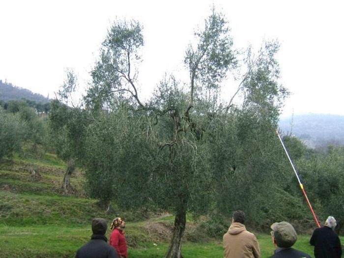 foto della potatura dell'olivo